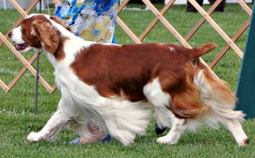 Redsage Welsh Springer Spaniels