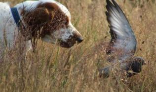 Redsage Welsh Springer Spaniels